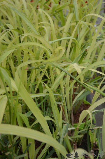 Cymbopogon citratus (Trawa cytrynowa) - C1.5