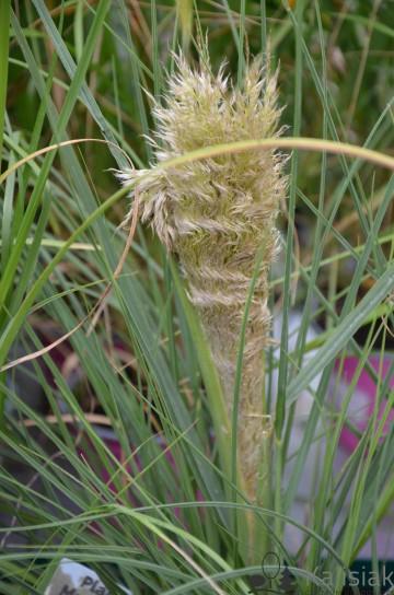 Cortaderia selloana TINY PAMPA Day1' (Trawa pampasowa) - C5