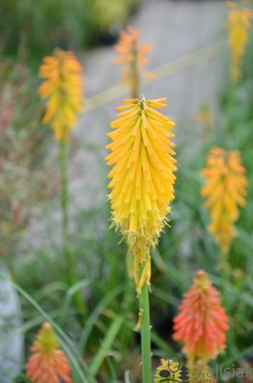 Kniphofia uvaria 'Mango Popsicle' (Trytoma groniasta) - C2
