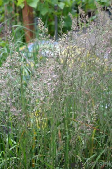 Calamagrostis acutiflora 'Karl Foerster' (Trzcinnik ostrokwiatowy) - C2
