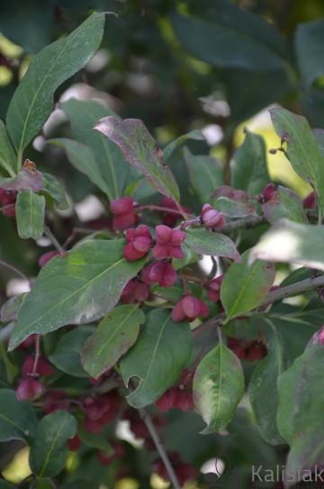 Euonymus europaeus 'Red Cascade' (Trzmielina pospolita) - C3