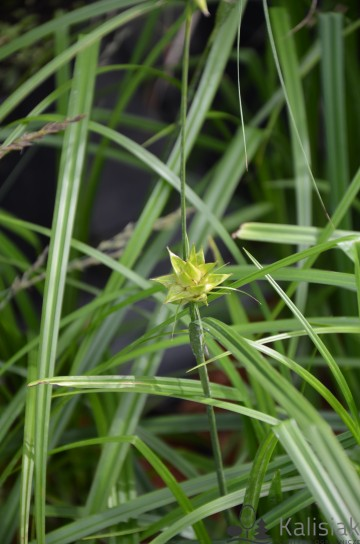 Carex grayj (Turzyca Graya) - C3