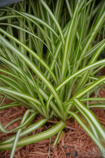 Carex oschimensis 'Maxigold' (Turzyca oszimska) - C2