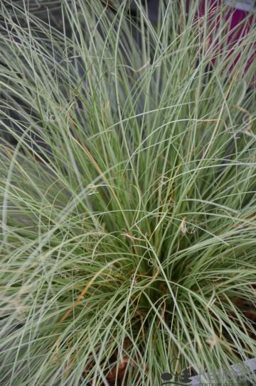 Carex comans 'Frosted Curls' (Turzyca włosowa) - C2