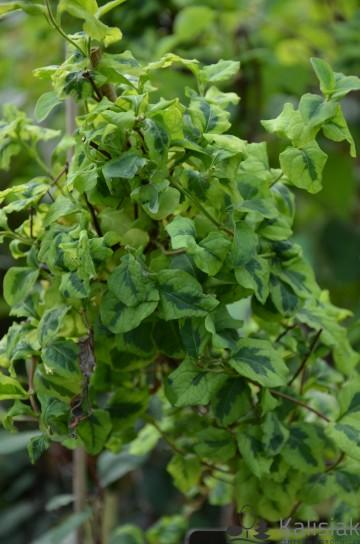 Lonicera japonica 'Kogel-mogel' (Wiciokrzew japoński) - C2