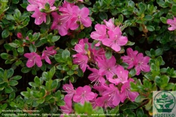 Rhododendron japanese azalea 'Maiogi'