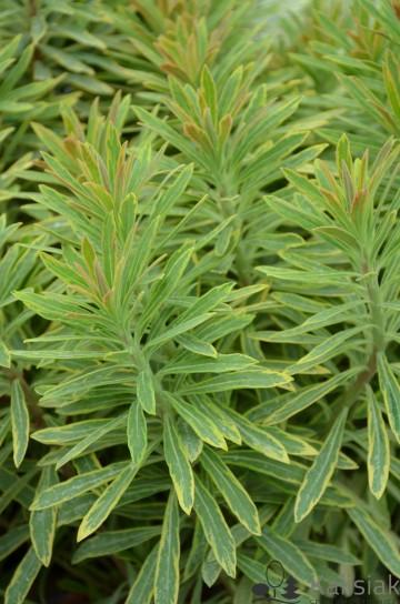 Euphorbia 'Ascot Rainbow' (Wilczomlecz) - C5