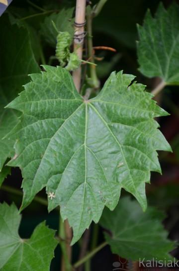 Vitis riparia 'Ania' (Winorośl pachnąca) - C2