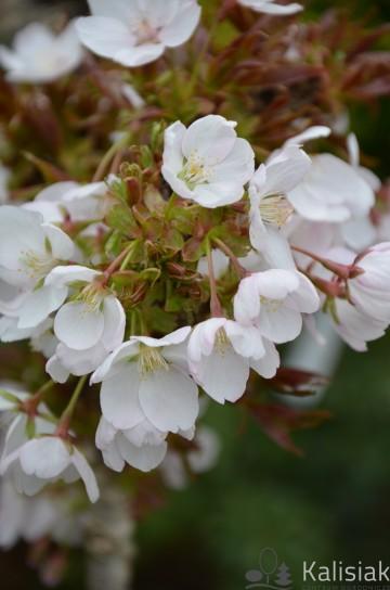 Prunus serrulata 'Little Jeremy' (Wiśnia piłkowana) - C5 PA