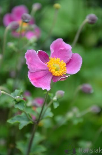 Anemone hupehensis 'Splendens' (Zawilec hupeheński) - C3