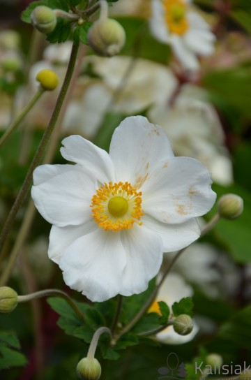 Anemone x hybrida 'Honorine Jobert' (Zawilec mieszańcowy) - C3