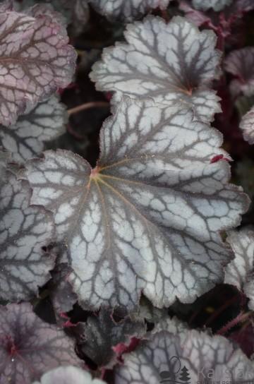 Heucherella 'Fire Frost' (Żuraweczka) - AN12