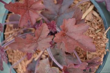 Heucherella 'Red Rover' (Żuraweczka) - C2