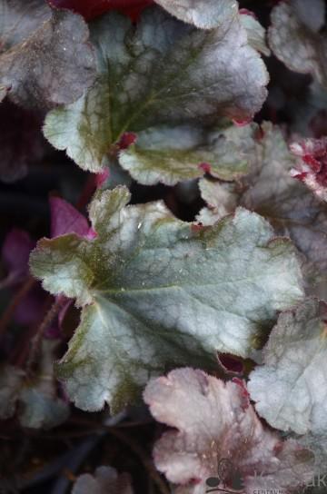Heuchera 'Berry Marmalade' (Żurawka) - AN12