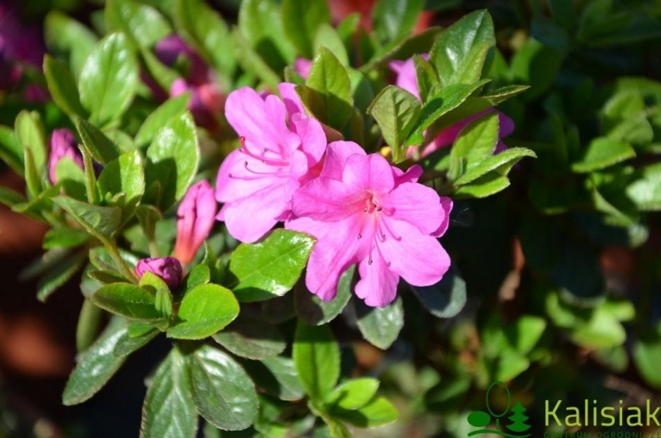 Rhododendron japanese azalea 'Geisha Purple'