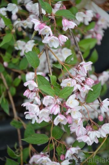 Deutzia purpurascens 'Kalmiiflora' (Żylistek) - C5