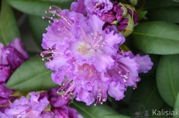 Rhododendron 'Alfred' (Różanecznik) - C4