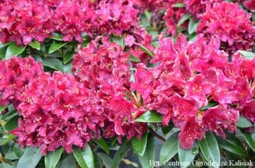 Rhododendron 'Kali' (Różanecznik) - C4