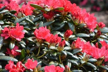 Rhododendron 'Karl Neue' (Różanecznik) - C4