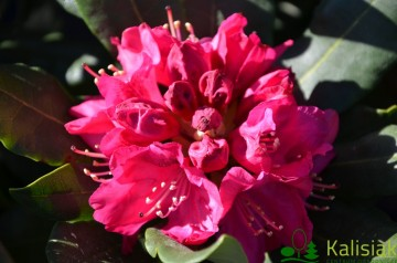 Rhododendron 'Nova Zembla' (Różanecznik) - C4