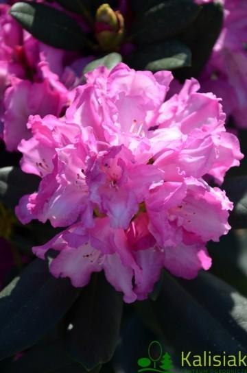 Rhododendron 'Blurettia' (Różanecznik) - C4