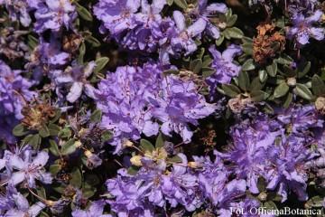 Rhododendron impeditum (Różanecznik gęsty) - C2