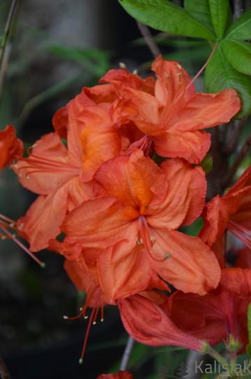 Rhododendron 'Feuerwerk' (Azalia wielkokwiatowa) - C3