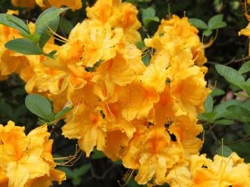 Rhododendron 'Goldpracht' (Azalia wielkokwiatowa) - C3