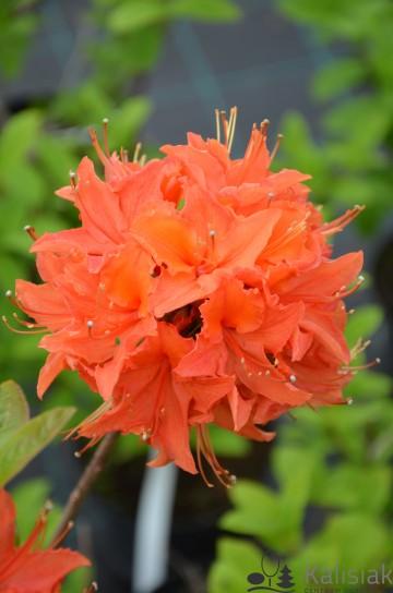 Rhododendron 'Mandarin Lights' (Azalia wielkokwiatowa) - C3