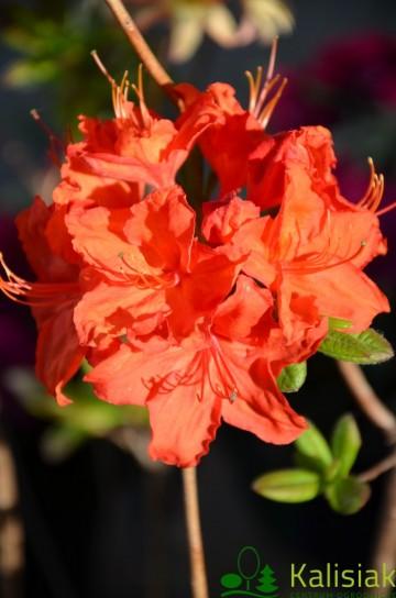 Rhododendron 'Parkfeuer' (Azalia wielkokwiatowa) - C3