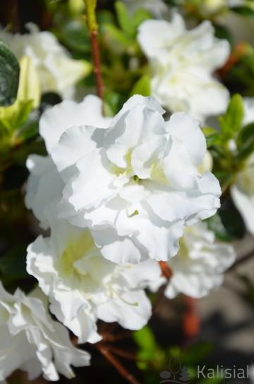 Rhododendron japanese azalea 'Schneeperle' (Azalia japońska) - C4