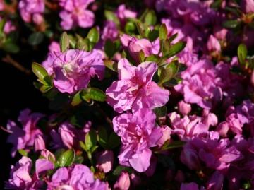 Rhododendron japanese azalea 'Thekla' (Azalia japońska) - C4