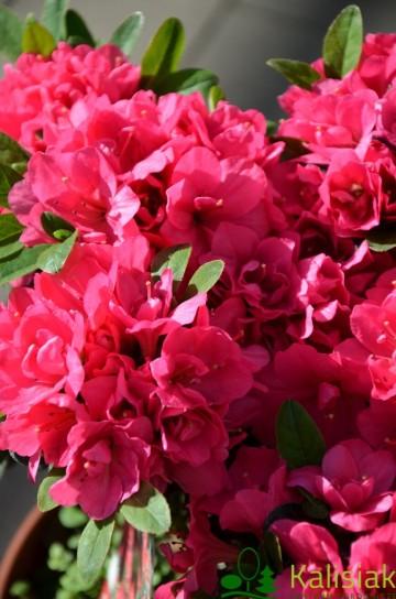 Rhododendron japanese azalea 'Canzonetta' (Azalia japońska) - C4