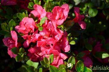 Rhododendron japanese azalea 'Gislinde' (Azalia japońska) - C2