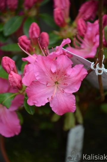 Rhododendron japanese azalea 'Kirstin' (Azalia japońska) - C2