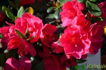 Rhododendron japanese azalea 'Tornella' (Azalia japońska) - C2