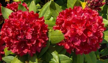 Rhododendron 'Carolin Scholz' (Różanecznik) - C4