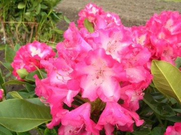 Rhododendron 'Eruption' (Różanecznik) - C4