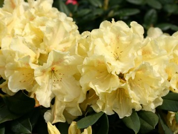 Rhododendron GOLDINETTA 'Hachgold' (Różanecznik) - C4