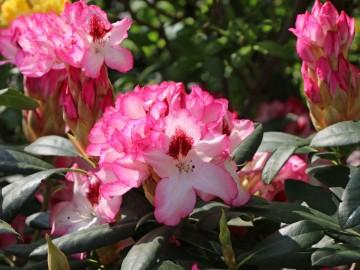 Rhododendron 'Hachmann's Charmant' (Różanecznik) - C4