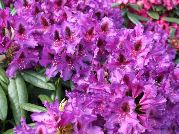 Rhododendron 'Mogambo' (Różanecznik) - C4