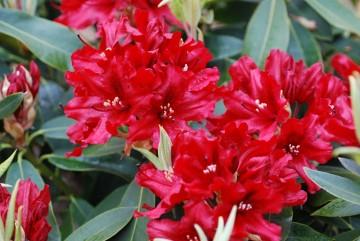 Rhododendron 'Taragona' (Różanecznik) - C4