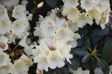 Rhododendron 'Marietta' (Różanecznik) - C4