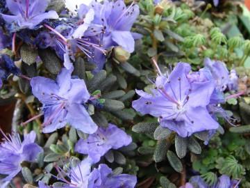 Rhododendron 'Intrifast' (Różanecznik) - C2