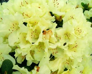 Rhododendron 'Patty Bee' (Różanecznik) - C2