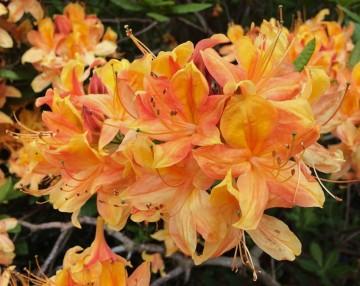 Rhododendron 'Apricot' (Azalia wielkokwiatowa) - C3