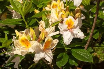 Rhododendron 'Arima' (Azalia wielkokwiatowa) - C3