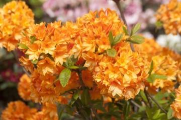 Rhododendron 'Orangenkopfchen' (Azalia wielkokwiatowa) - C3