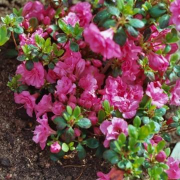 Rhododendron japanese azalea 'Babuschka' (Azalia japońska) - C4
