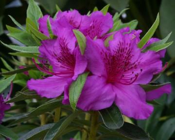 Rhododendron japanese azalea 'Herbert' (Azalia japońska) - C2